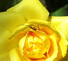 Yellow Rose Visitor by Tisha Clinkenbeard