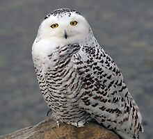 Owl on the Rocks - Snowy Owl by Jim Cumming