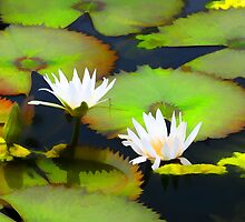 Lily Pond by Tom Prendergast
