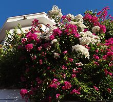 Bougainvillea against the sky - Bougainvillea contra el cielo by Bernhard Matejka