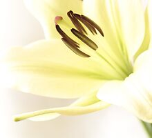White Lily by WestawayStreet