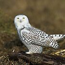 Snowy Owl On The Beach by David Friederich
