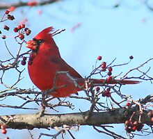 Cardinal Sitting Pretty by Rosanne Jordan