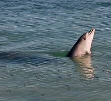 Baby Bottlenosed dolphin by Gerrart