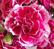 White tipped Pink Carnation by Dawn (Paris) Gillies