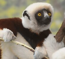 LEMUR by mc27