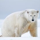Polar Bear by Gina Ruttle  (Whalegeek)