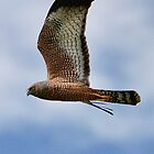 Spotted Harrier by Cindy McDonald