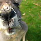 Nosy Roo by Lee Harvey