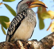Yellow-billed Hornbill by Rob Chiarolli