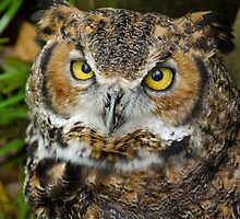 Horned Owl has Big Eyes by Robert H Carney