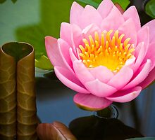pink lotus by hinnamsaisuy