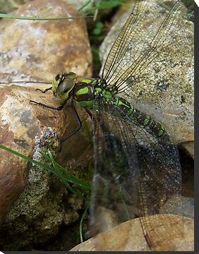 Green Dragonfly by SkinnyJoe