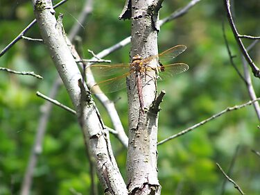 Dragonfly on a Tree by SkinnyJoe