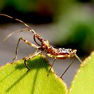 Assassin Bug by John Marriott