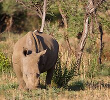 Rhino grazing at dawn by Will Hore-Lacy