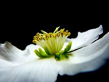 Christrose (helleborus) at eye level by bubblehex08