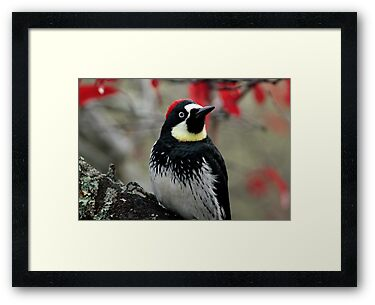 Acorn Woodpecker by Harry Snowden