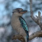 blue winged kookaburra by tonysphotospot