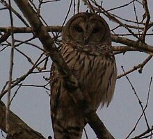 Barred Owl by AkaleiKilikina