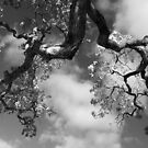Cloudy Oak by Laurie Search