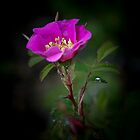 wild rose by alex skelly