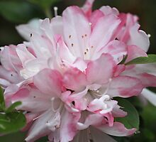 Azaleas - Dedicated to my brother Joe and his family by Sea-Change