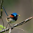 Red-winged Fairy-wren by Haggiswonderdog