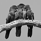 Families - Red-tailed Black-cockatoos by Haggiswonderdog