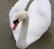 Swan in the lake by fotorobs