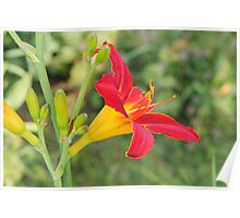 Multi-coloured lilly Poster