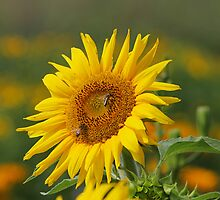 Sunflower by fotorobs