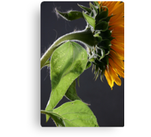 Sunflower in studio 3 Canvas Print