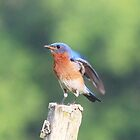 bluebird on post by SusieG