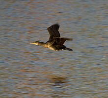 Cormorant in flight by Jon Lees