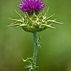 Milk Thistle by Dean Cunningham