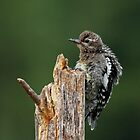 Juvenile Yellow-bellied Sapsucker by Bill McMullen