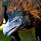 Wedge-tailed Eagle up close by Renee Hubbard Fine Art Photography