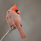 Cardinal by Mully410