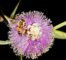 Honey myrtle (Melaleuca filifolia) by Colin White