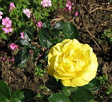Yellow Rose and Cranesbill by MidnightMelody