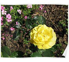 Yellow Rose and Cranesbill Poster