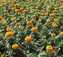 Carpet of Marigolds by MidnightMelody