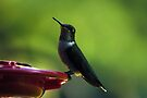 Female Ruby-Throated Hummingbird by Kim McClain Gregal