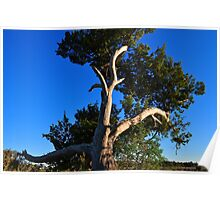 Cedar Tree On Coast Poster