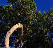 Cedar Tree Close Up by joevoz