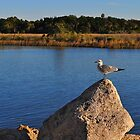 Sea Gull on a Rock by joevoz