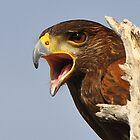Harris Hawk by levipie