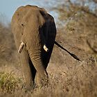 African Elephant by Rashid Latiff