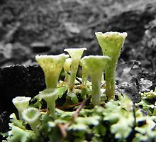 Pixie Cup Lichen (Cladonia fimbriata) by Esther's Art and Photography